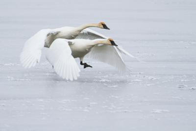A Pair of Trumpeter Swans Taking Off on a Frozen Creek by Greg Winston