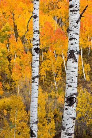 A Pair Of White Aspen Trees In Front Of A Brightly Colored Stand Of Aspens In Fall Colors by Greg Winston