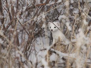 A Short-Tailed Weasel or Ermine, Mustela Erminea by Greg Winston
