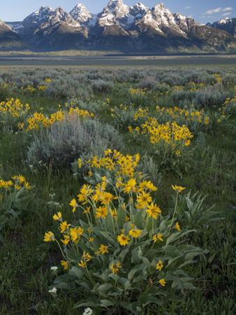 Arrowleaf Balsamroot, Balsamhoriza Sagittata, and the Teton Range by Greg Winston