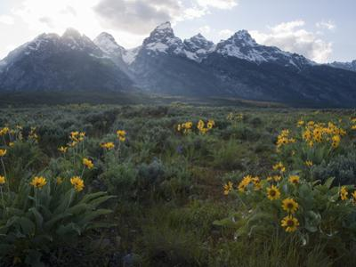Balsamroot Growing in a Field Against a Backdrop of the Teton Range by Greg Winston