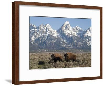 Buffalo or Bison Bulls, Bison Bison, in Front of the Teton Range