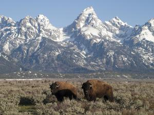 Buffalo or Bison Bulls, Bison Bison, in Front of the Teton Range by Greg Winston