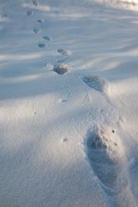 Fresh Grizzly Bear Tracks Across Snow by Greg Winston