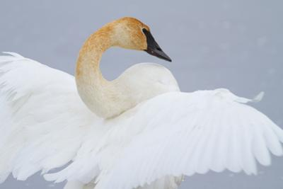 Portrait of a Trumpeter Swan with Outstretched Wings by Greg Winston