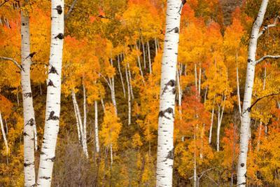 White Aspen Trees In Front Of A Brightly Colored Stand Of Aspens In Fall Colors by Greg Winston