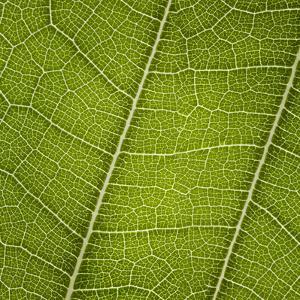 Leaf Veins Connecting by Gregor Schuster