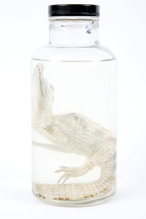 Preserved Alligator In a Jar