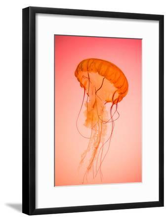 Photograph of a Live Pacific Northwest Sea Nettle Jellyfish on a Red-Orange Background