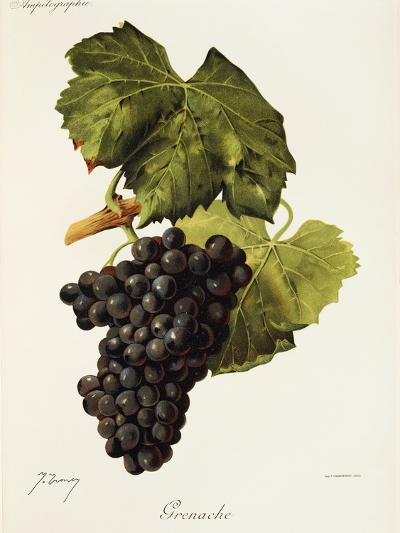 Grenache Grape-J. Troncy-Giclee Print