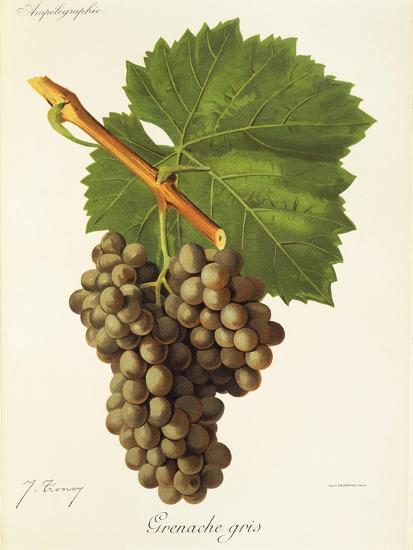 Grenache Gris Grape-J. Troncy-Giclee Print