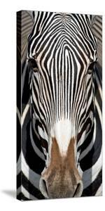 Grevey's Zebra, Samburu National Reserve, Kenya