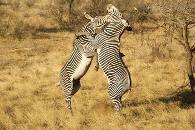 https://imgc.artprintimages.com/img/print/grevy-s-zebra-fighting_u-l-pzruhg0.jpg?p=0