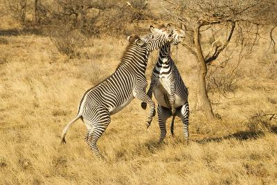 Grevy's Zebra Fighting-Mary Ann McDonald-Photographic Print