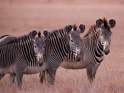 Grevy's Zebra, Masai Mara, Kenya-Dee Ann Pederson-Photographic Print