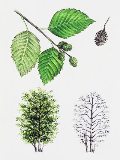 Grey Alder or Speckled Alder (Alnus Incana)--Giclee Print