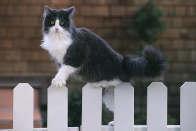 https://imgc.artprintimages.com/img/print/grey-and-white-cat-climbing-on-picket-fence_u-l-pzr31c0.jpg?p=0