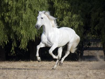 Grey Andalusian Stallion Cantering in Field, Ojai, California, USA-Carol Walker-Photographic Print