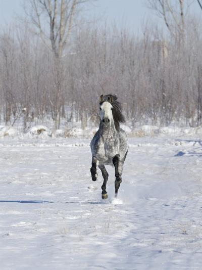 Grey Andalusian Stallion Cantering in Snow, Longmont, Colorado, USA-Carol Walker-Photographic Print