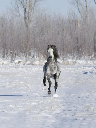 https://imgc.artprintimages.com/img/print/grey-andalusian-stallion-cantering-in-snow-longmont-colorado-usa_u-l-q10o0170.jpg?p=0