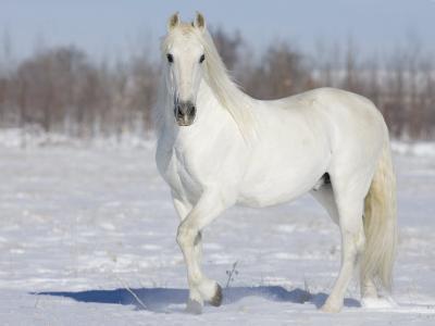 Grey Andalusian Stallion Portrait in Snow, Longmont, Colorado, USA-Carol Walker-Photographic Print