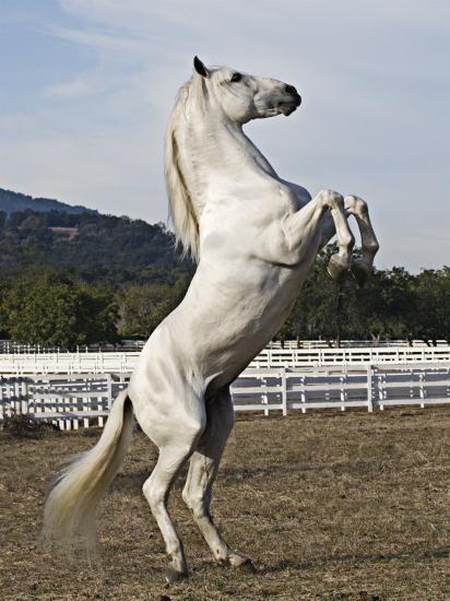Grey Andalusian Stallion Rearing, Ojai, California, USA-Carol Walker-Photographic Print