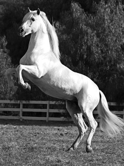 Grey Andalusian Stallion Rearing on Hind Legs, Ojai, California, USA-Carol Walker-Photographic Print