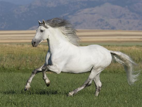 Grey Andalusian Stallion Running in Field, Longmont, Colorado, USA-Carol Walker-Photographic Print