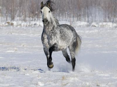 Grey Andalusian Stallion Trotting in Snow, Longmont, Colorado, USA-Carol Walker-Photographic Print