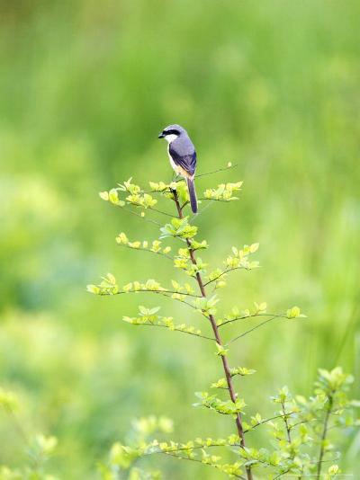 Grey-Backed Shrike, Perched on Bush, Assam, India-David Courtenay-Photographic Print