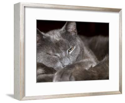 Grey Cat Peers at the Camera with One Eye Open-Hannele Lahti-Framed Photographic Print