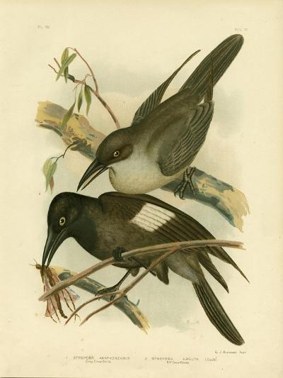 Grey Crow-Shrike, 1891-Gracius Broinowski-Giclee Print