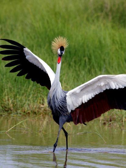 Grey Crowned Crane (Balearica Regulorum), Tanzania-Arthur Morris-Photographic Print