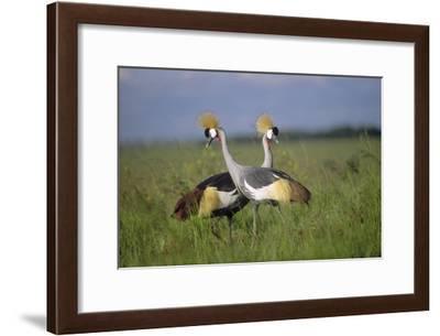Grey Crowned Crane couple courting, Masai Mara National Reserve, Kenya-Tim Fitzharris-Framed Art Print