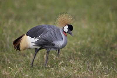 Grey Crowned Crane (Southern Crowned Crane) (Balearica Regulorum)-James Hager-Photographic Print