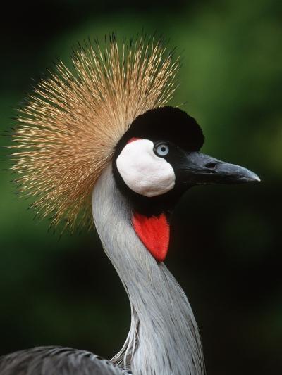 Grey Crowned Crane-Martin Harvey-Photographic Print