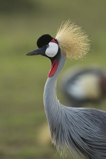 Grey-Crowned Crane-Mary Ann McDonald-Photographic Print