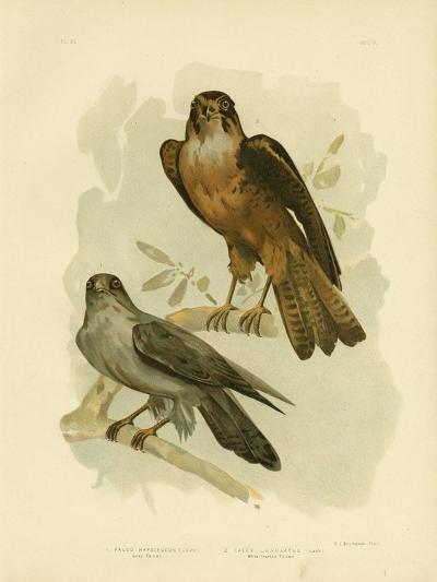 Grey Falcon, 1891-Gracius Broinowski-Giclee Print