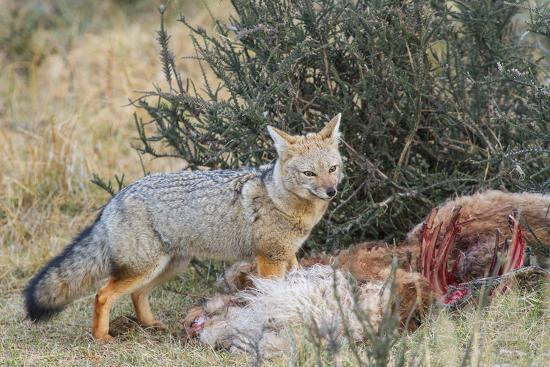 Grey Fox (Lycalopex Gymnocercus), Patagonia, Chile, South America-Pablo Cersosimo-Photographic Print