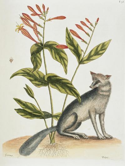 Grey Fox Natural History of Carolina, Florida and Bahamas-Mark Catesby-Giclee Print