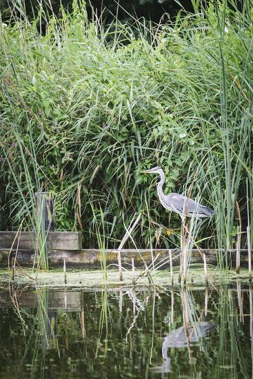 Grey Heron (Ardea Cinerea) by Waters Edge-Mark Doherty-Photographic Print