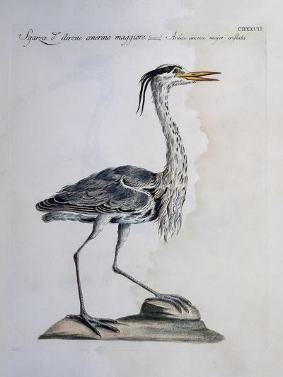 Grey Heron (Ardea Cinerea), Coloured from History of Birds, 1767--Giclee Print