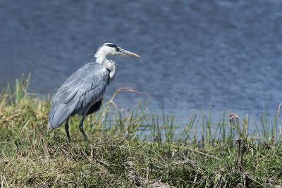 Grey Heron (Ardea Cinerea), Khwai Concession, Okavango Delta, Botswana, Africa-Sergio Pitamitz-Photographic Print