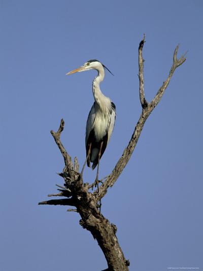Grey Heron (Ardea Cinerea), Kruger National Park, South Africa, Africa-Steve & Ann Toon-Photographic Print