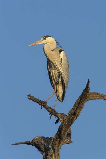 Grey Heron (Ardea Cinerea), Kruger National Park, South Africa, Africa-Ann & Steve Toon-Photographic Print