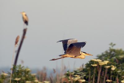 Grey Heron (Ardea Cinerea) Pusztaszer, Hungary, May 2008-Varesvuo-Photographic Print