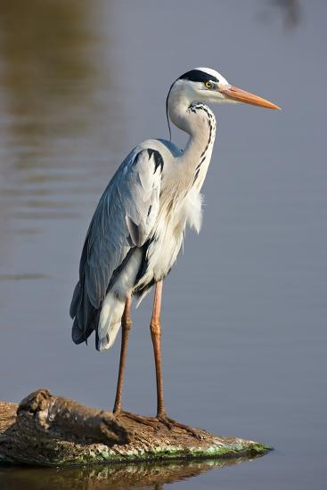 Grey Heron : Ardea Cinerea : South Africa-Johan Swanepoel-Photographic Print