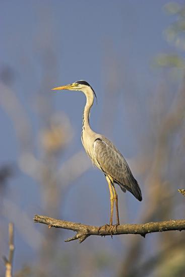 Grey Heron Bird in the Danube Delta, Standing on Willow Tree in Colony, Romania-Martin Zwick-Photographic Print