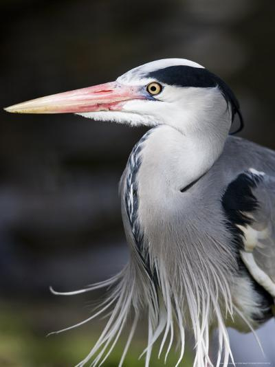 Grey Heron, Head and Chest Portrait Showing Breast Plumes, London, UK-Elliot Neep-Photographic Print