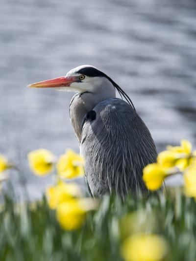 Grey Heron in Daffodils, London, UK-Elliot Neep-Photographic Print